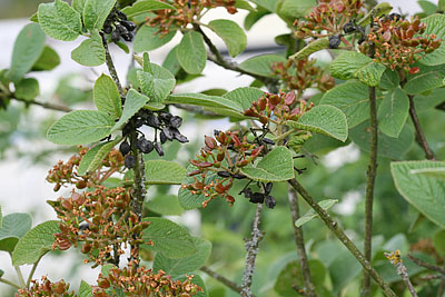 Alte und neue Früchte des wolligen Schneeballs