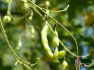 Schnurbaumfrucht
