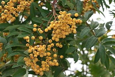 Eberesche mit gelben Früchten
