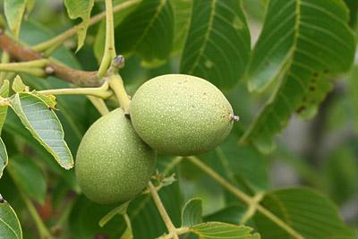 Unreife Früchte des Walnussbaums