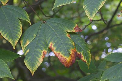 Welkendes Fiederblatt der Strauchkastanie