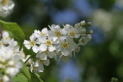 Traubenkirschenblüte