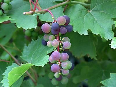 reifende rote Weintrauben