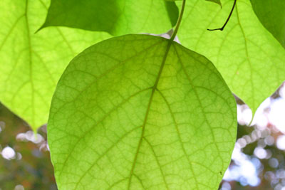 Trompetenbaumblätter