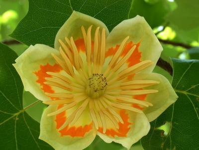 Tulpenbaum-Blüte