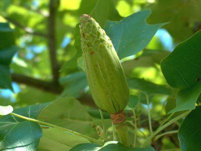 Frucht des Tulpenbaums