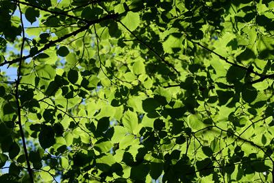 Krone einer grünenden Ulme