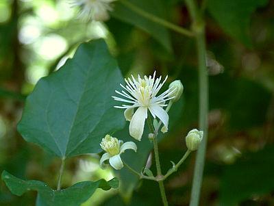 Blüte der Waldrebe