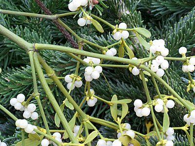 Weihnachtspflanzen