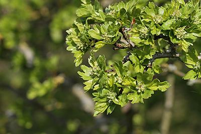 Frühes Blattkleid des Weißdorns