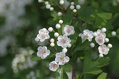 Weißdornblühen