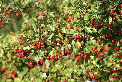Reife Früchte des Weißdorns