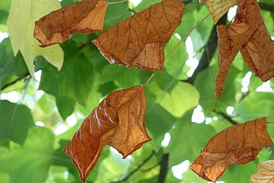 welkende Tulpenbaumblätter