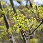 Blüte des Spitzahorns II, aus: Gelbgrünes Blütenmeer im Frühlingslicht