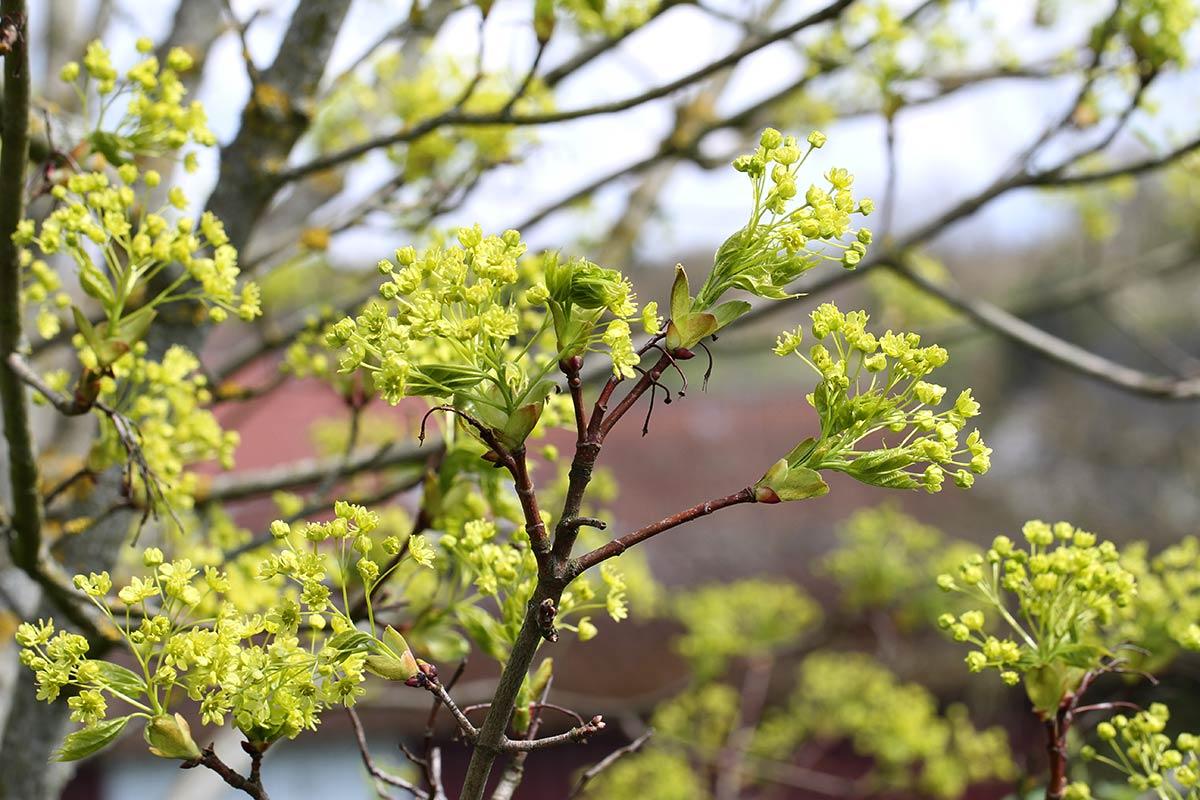Blüte des Spitzahorns