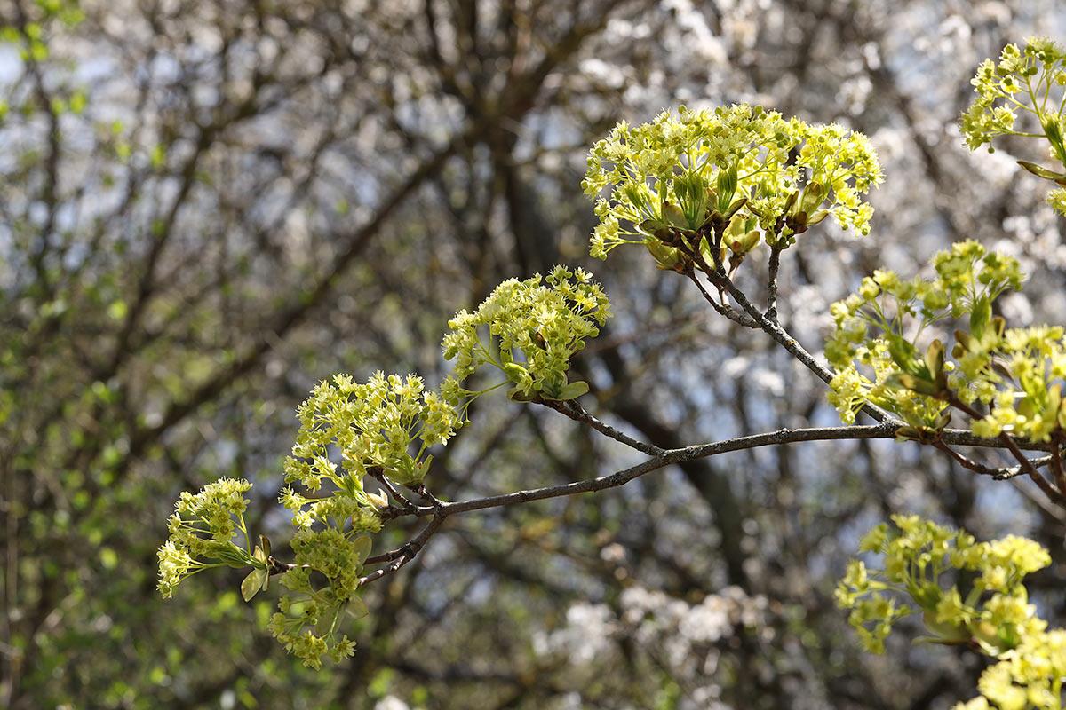 Spitzahornblütenzweig im Frühling