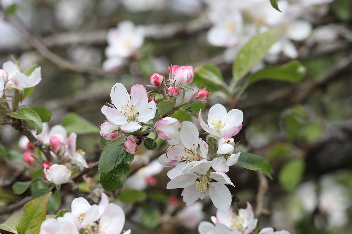 Apfelbaumblüte 2021 II