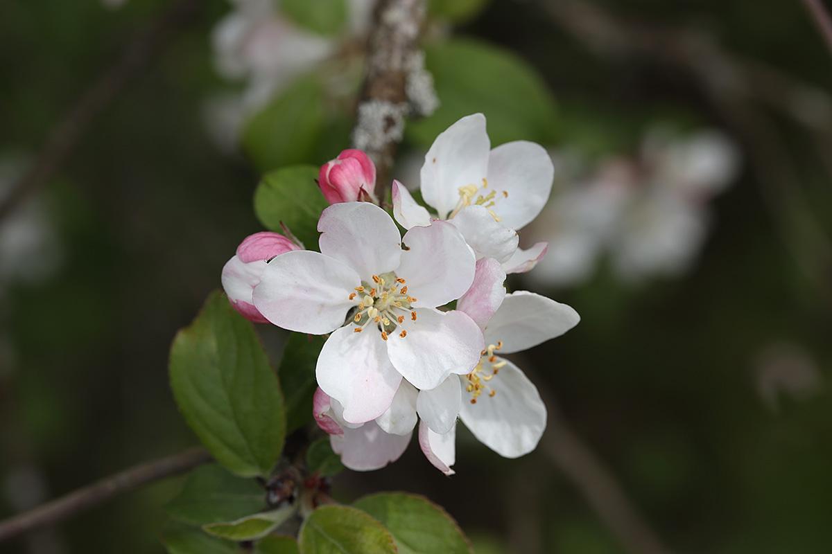 Apfelbaumblüte 2021 III