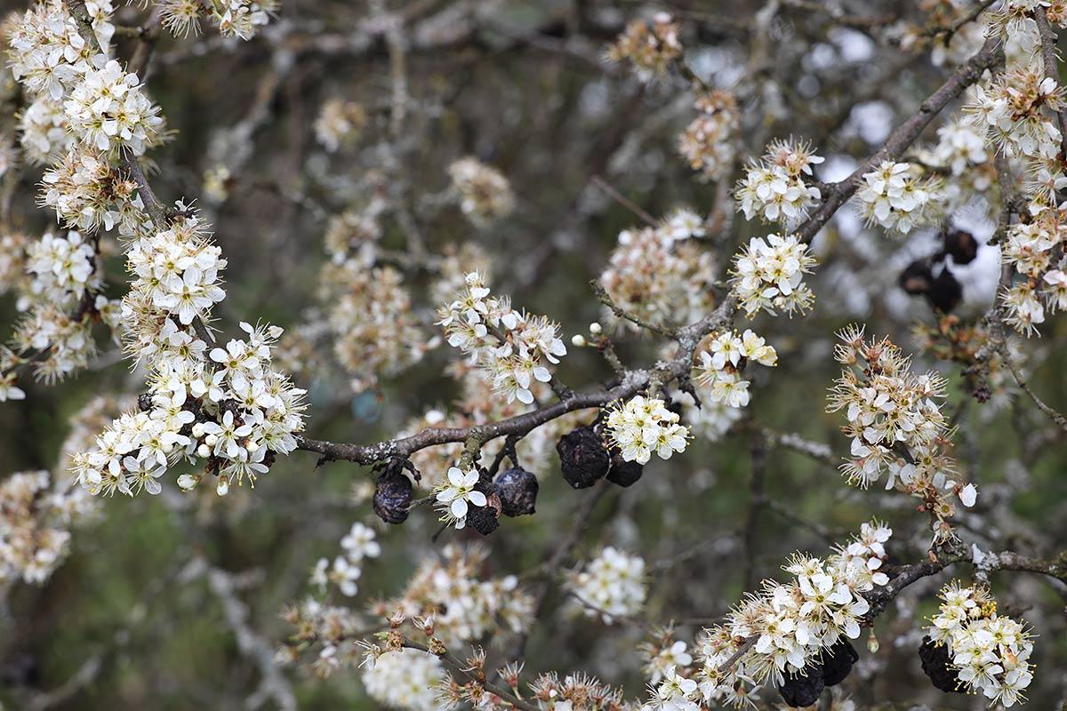 Jahreszeitliche Baummetamorphosen I (Schlehdorn)