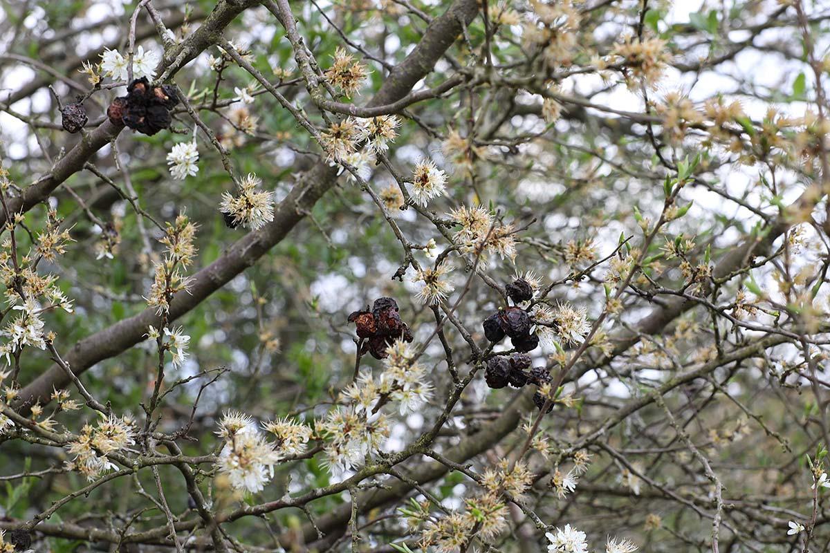 Jahreszeitliche Baummetamorphosen II (Schlehdorn)