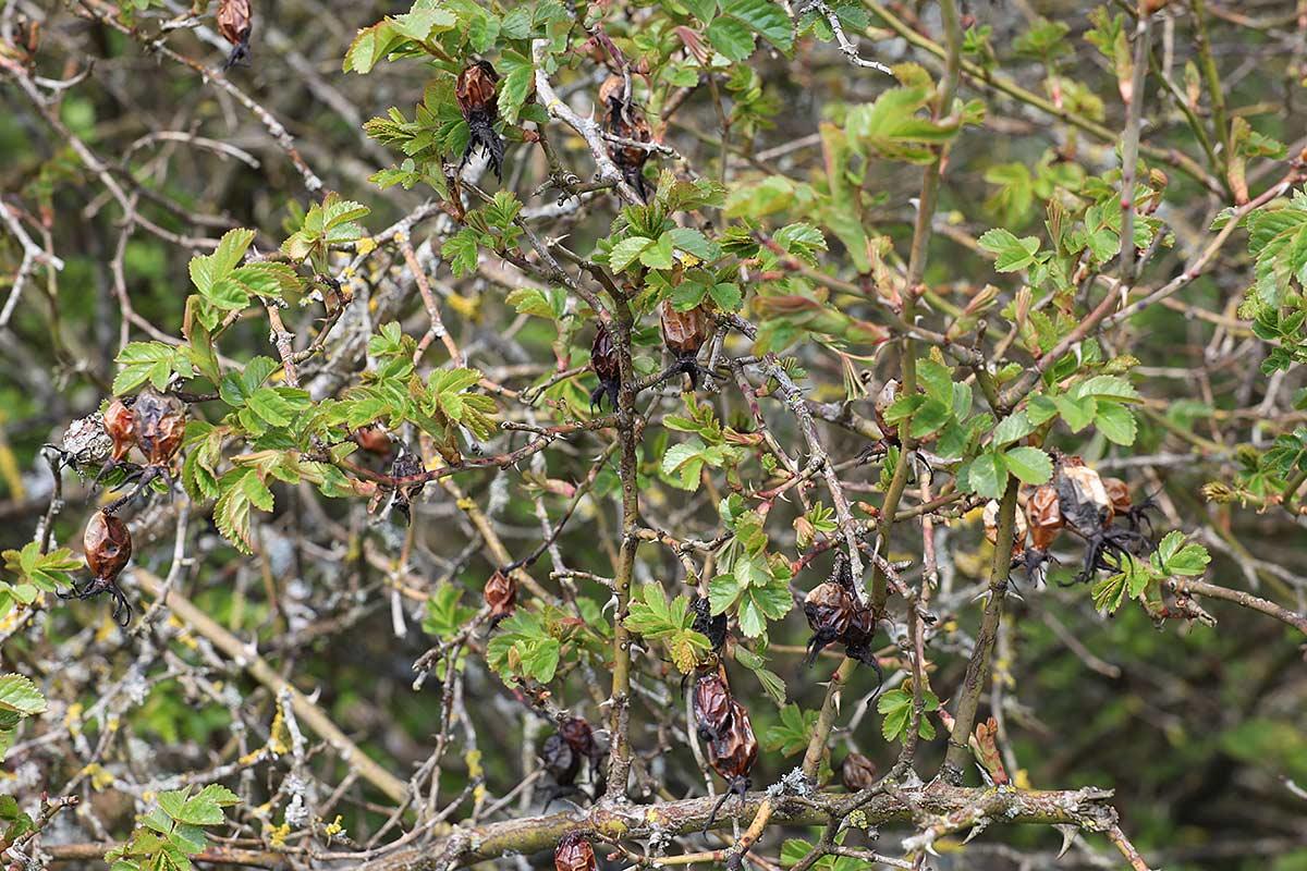 Jahreszeitliche Baummetamorphosen III (Heckenrose)