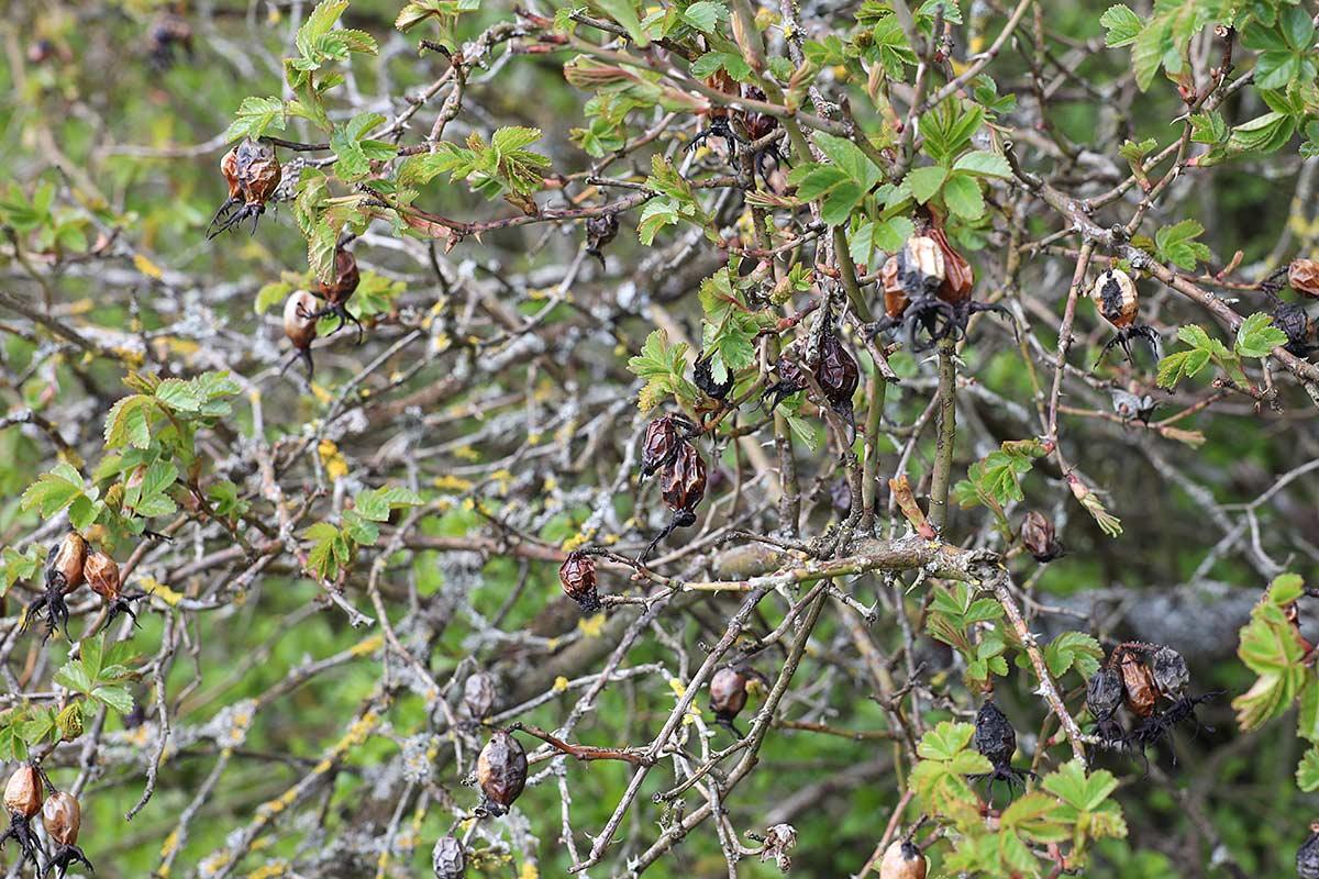Jahreszeitliche Baummetamorphosen IV (Heckenrose)