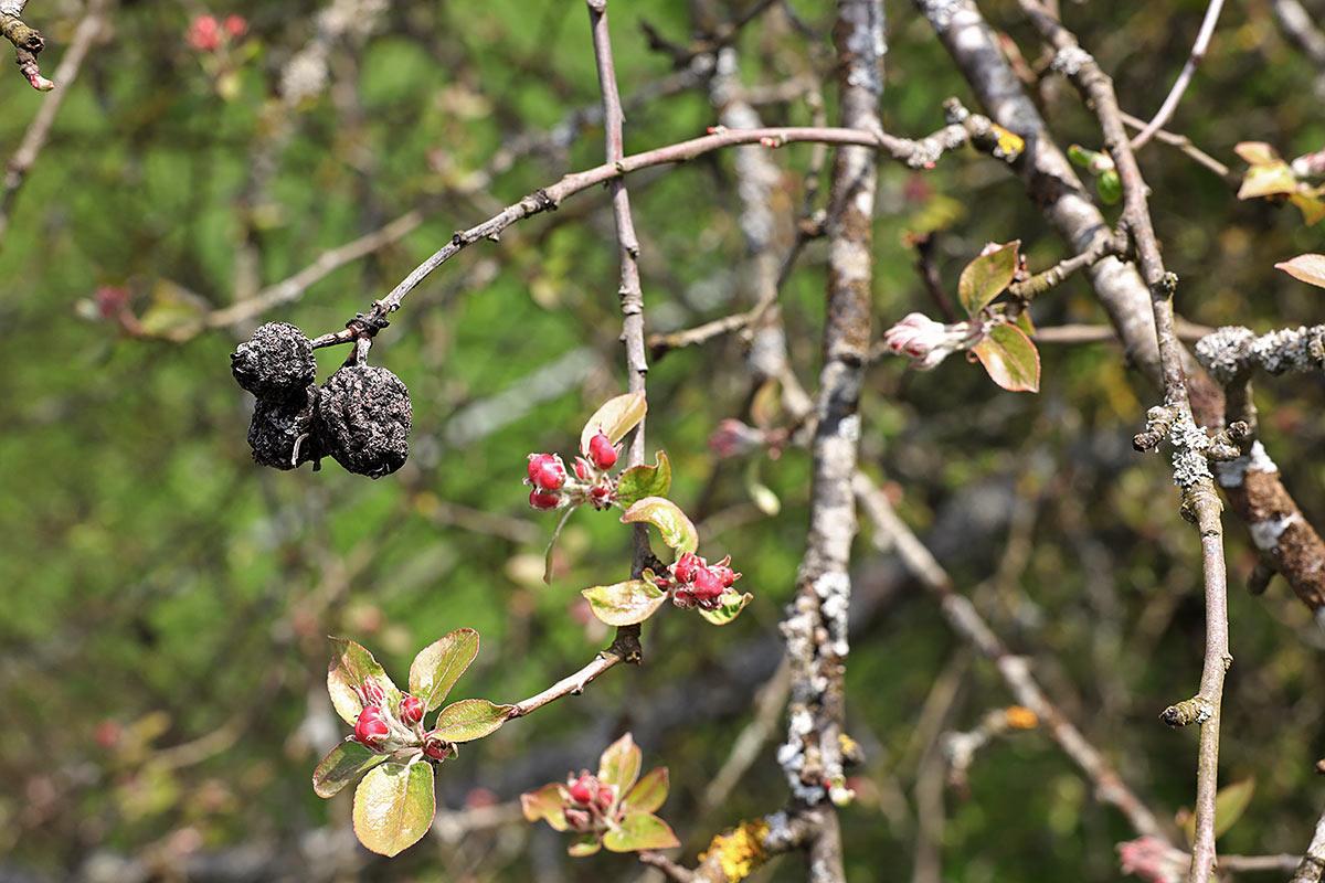 Jahreszeitliche Baummetamorphosen (Wildapfelbaum)