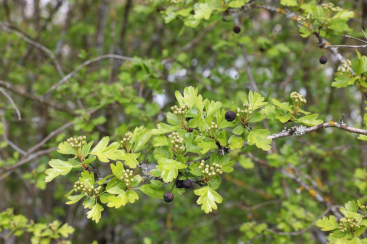 Jahreszeitliche Baummetamorphosen (Weißdorn)