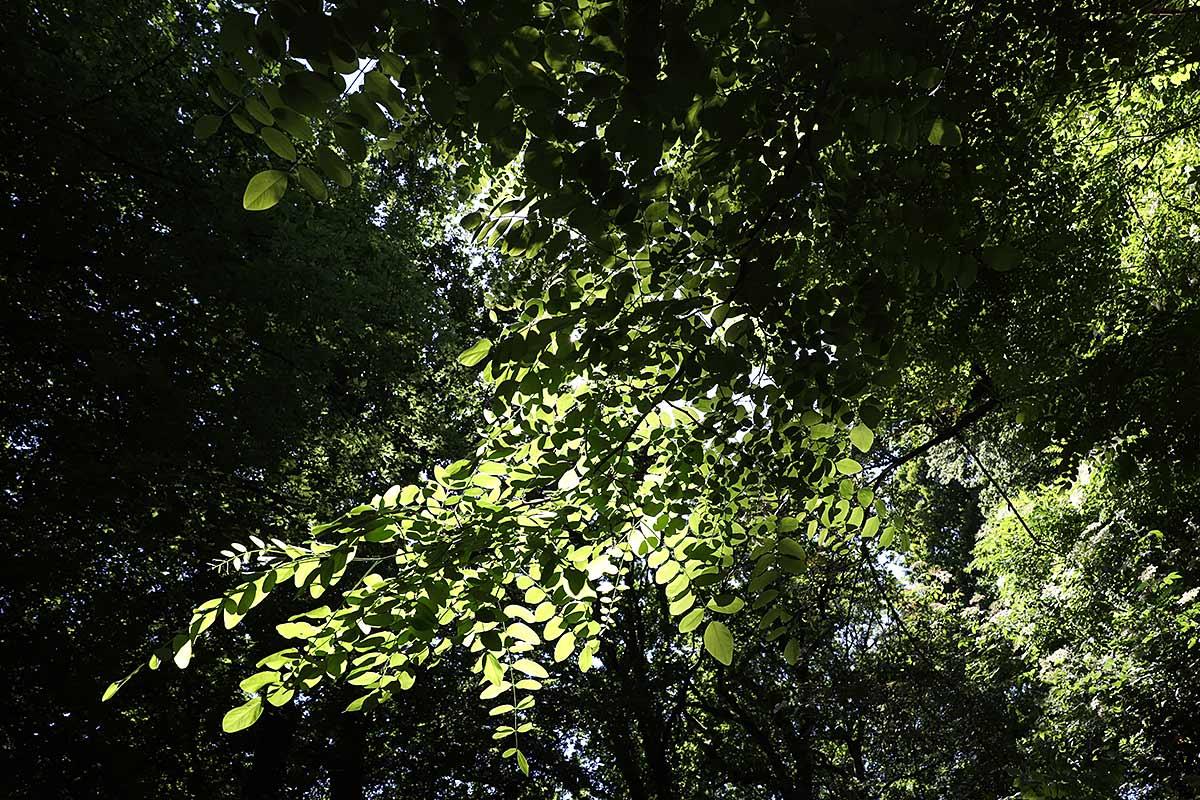 Sommerliches Blätterdach einer Robinie I