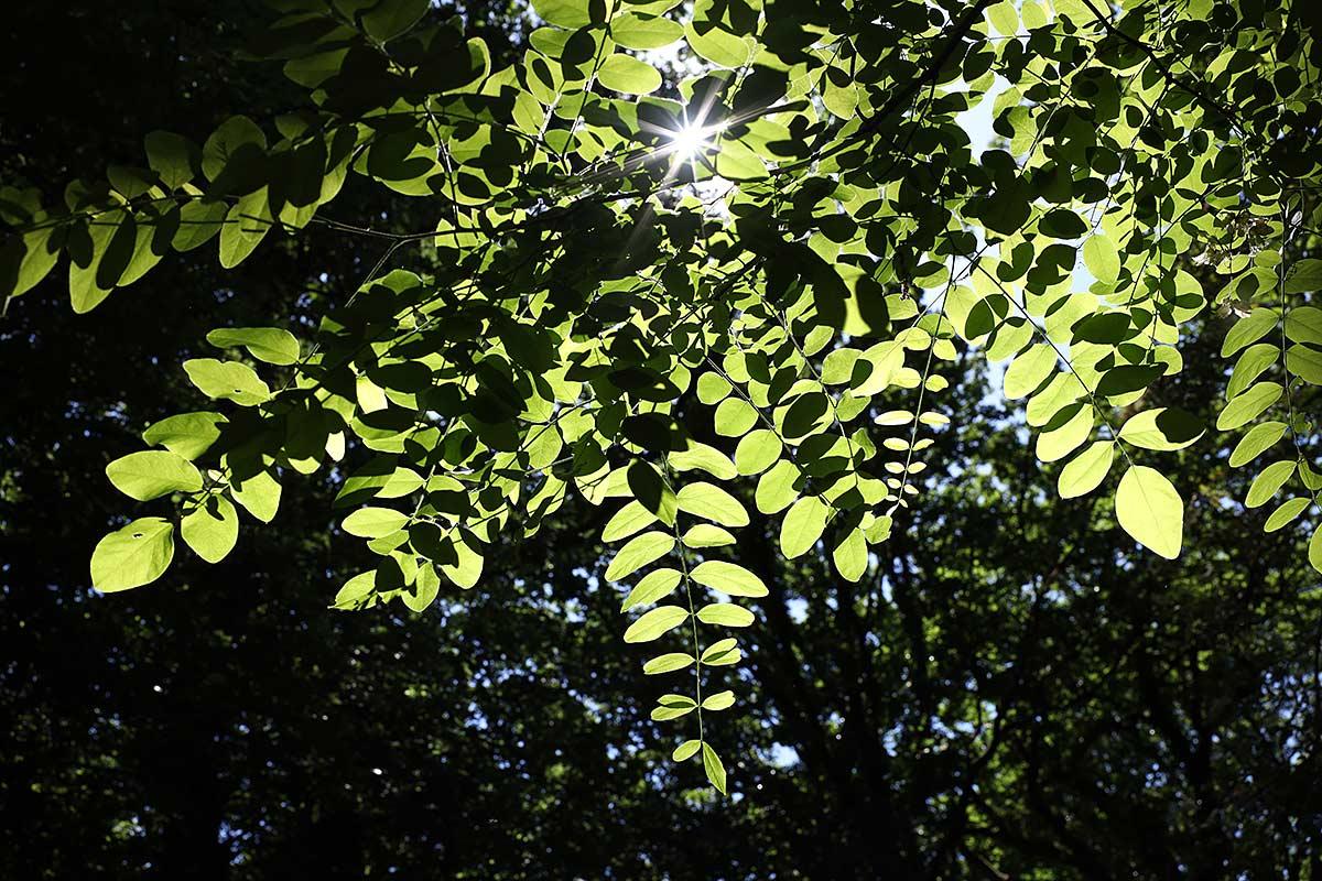 Sommerliches Blätterdach einer Robinie II
