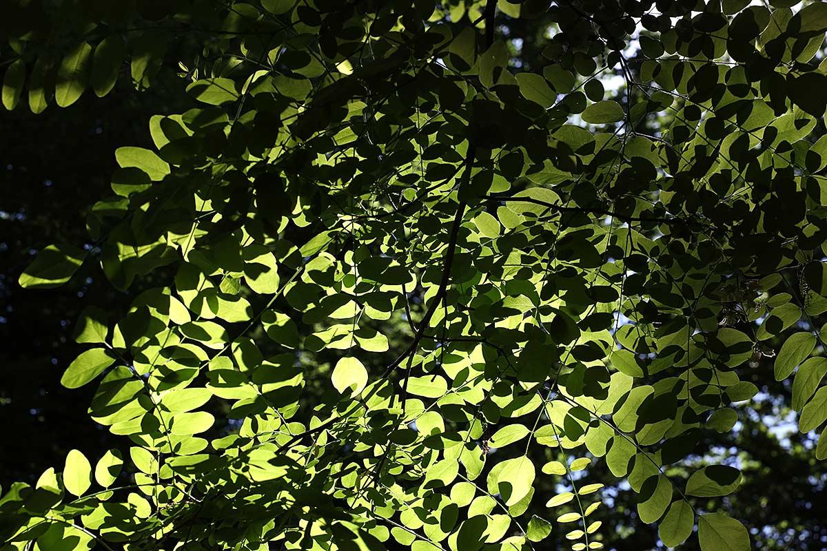 Sommerliches Blätterdach einer Robinie III