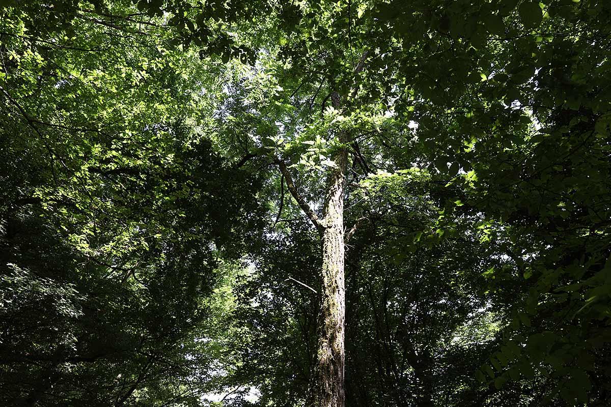 Sommerliches Baumkronen-Grün