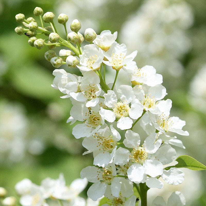 Baumfotografien - Baumblüten