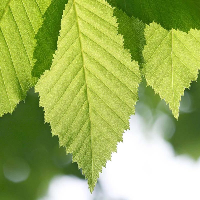 Baum-Fotografien - Baumblätter