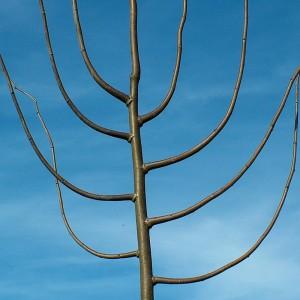 Baum-Kuriositäten