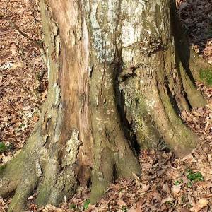 Baum-Wurzeln
