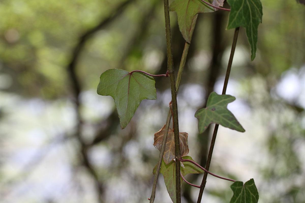Efeuranke im Frühling
