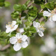 Schlehdornblüte, aus: Frühlingsfortschritt