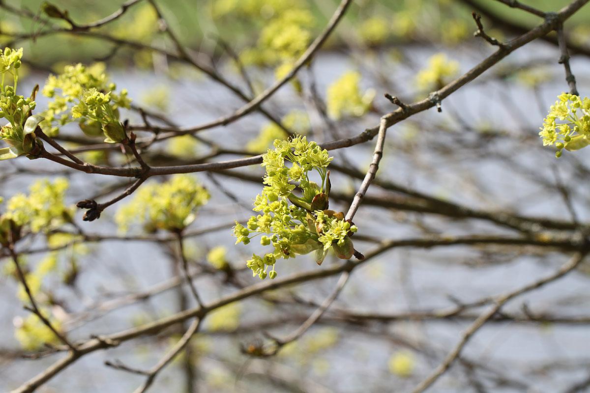 Junge Spitzahornblüte