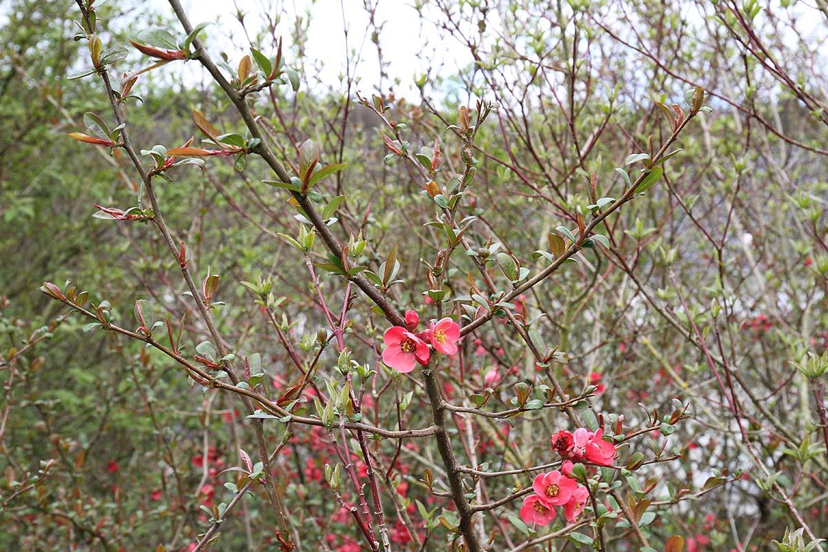 Mispelblüte