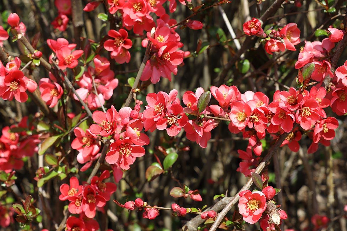 Zierapfelblüte 2021