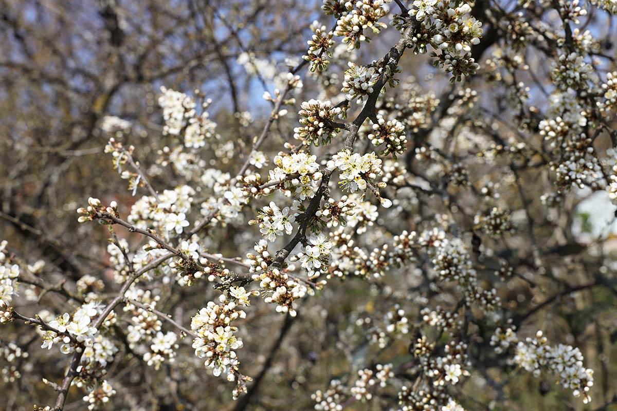 Schlehdornblüte 2021