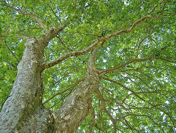 Baumgedichte - Stimmen des Baumes