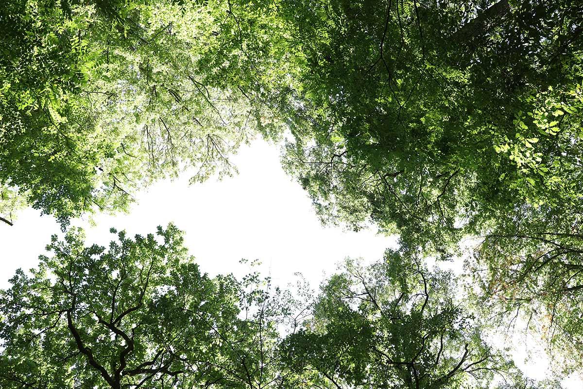 Eichen- und Buchenkronen im Spätsommer VII