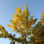 Herbstlicher Ginkgo, aus: Gartenherbstspektrum