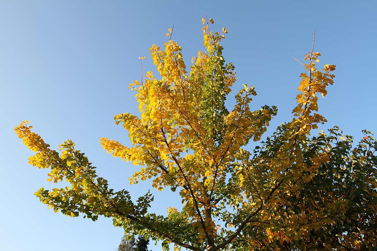 Herbstlicher Ginkgo