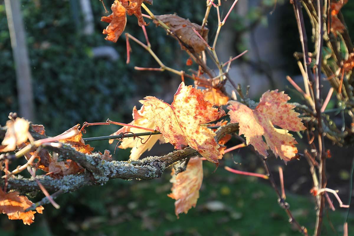 Herbstliches Weinlaub