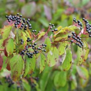 Hartriegelzweig mit Früchten und herbstlichem Laub, aus: Sommer-Herbst der Sträucher