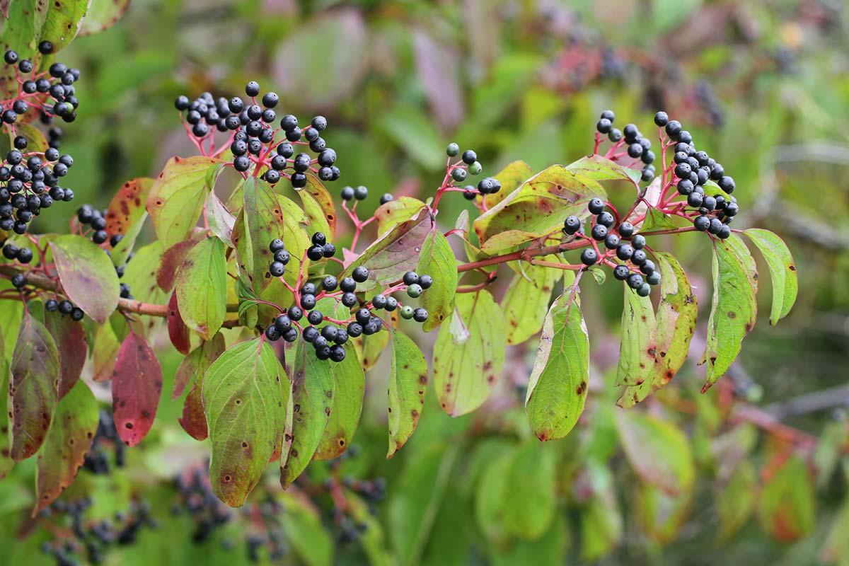 Hartriegelzweig mit Früchten und herbstlichem Laub