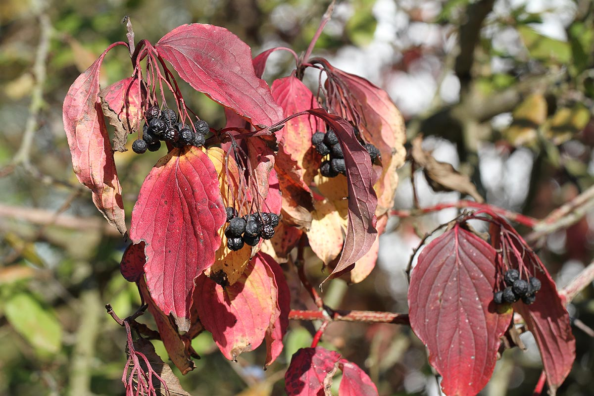 Hartriegel im Herbst II